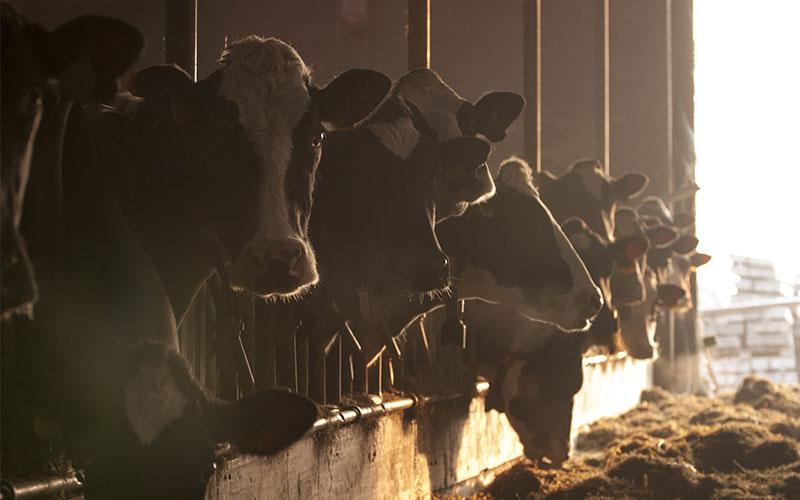 Climat adquat dans un levage de vaches laitires