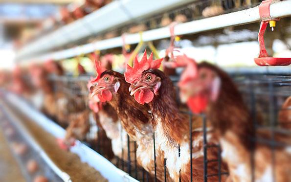Croissance et sant des animaux avec une ventilation adquate