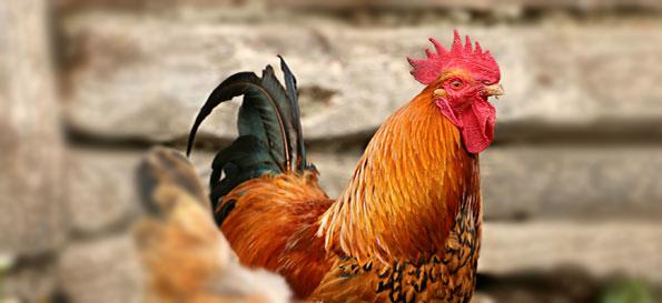 Extracteurs axiaux pour aviculture