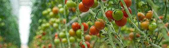 Pomodori in una serra con umidificazione pannelli evaportivi
