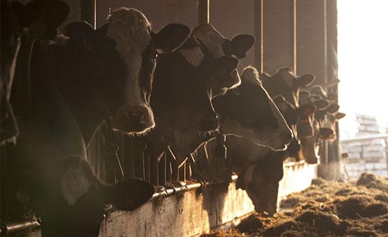 ventilatori per stalla da bovini